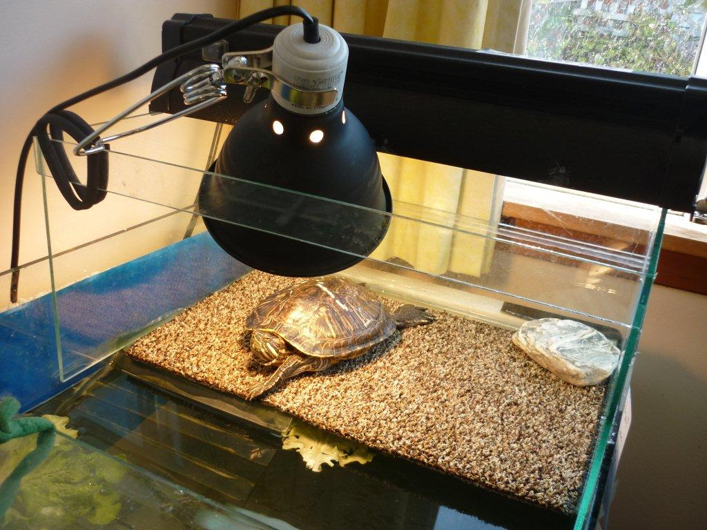 Как правильно содержать домашних условиях черепаху 362